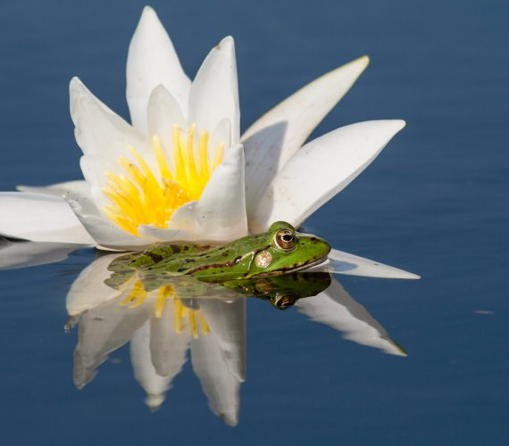 Nufarul, floarea simbol a Deltei Dunarii